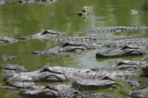 "Leadership speakers and prractioners, Bob Vanourek & Gregg Vanourek, choose the image of lurking crocodiles to represent the insidious ""mutterer"" in the workplace."