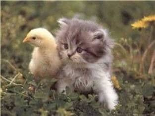 Authors and leadership speakers, Bob and Gregg Vanourek, use a picture of a kitten and a chick to express the importance of diversity in organizational culture.